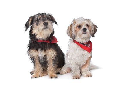 boomer: Boomer and maltese dog in front of a white background Stock Photo