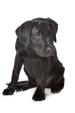 Black Labrador puppy,14 weeks old, in front of a white background photo