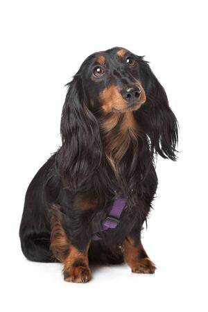 black and tan miniature dachshund in front of a white background photo
