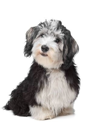 havanais: Havanese Bichon in front of a white background