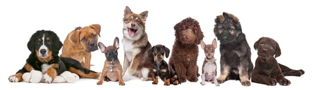 large group of puppies on a white background.from left to right, Bernese Mountain Dog, mixed breed mastiff, French Bulldog, Finnish Lapphund, Dachshund, Labradoodle, chihuahua, German Shepherd and a chocolate Labrador photo