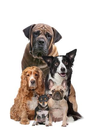 dogs sitting: Cinco perros delante de un fondo blanco