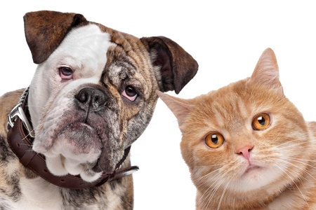 dog cat: English Bulldog and a red cat in front of a white background