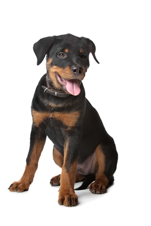 rottweiler: Rottweiler puppy in front of a white background