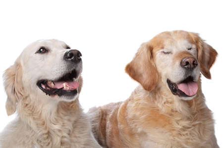 Twee Golden Retriever honden in de voorkant van een witte achtergrond Hond aan de rechterkant is blind