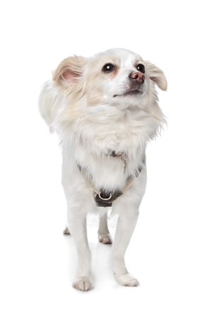 long haired white chihuahua in front of a white background photo