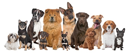 Group of twelve dogs sitting in front of a white background photo