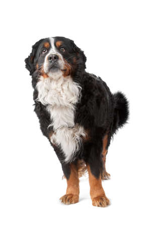 berner: Bernese Mountain Dog standing in front of a white background Stock Photo