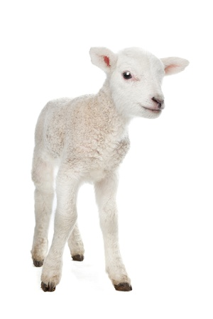 Few days old Lamb standing in front of a white background photo