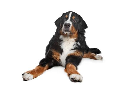 mountain dog: Bernese Mountain Dog in front of a white background Stock Photo