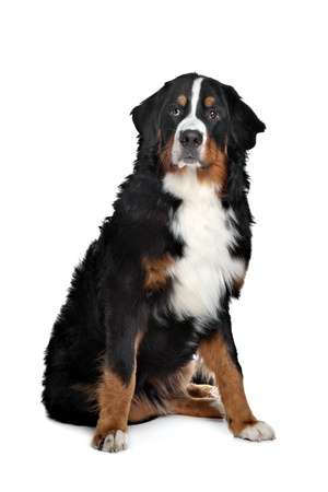 Bernese Mountain Dog in front of a white background photo