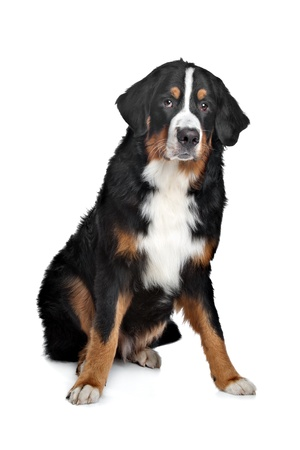 Bernese Mountain Dog in front of a white background Stock Photo - 13132894