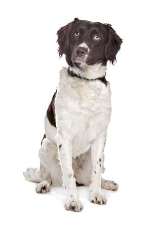 kuropatwa: mieszane rasy psów Dutch Partridge Dog, Frisian Pointing Dog z przodu biały