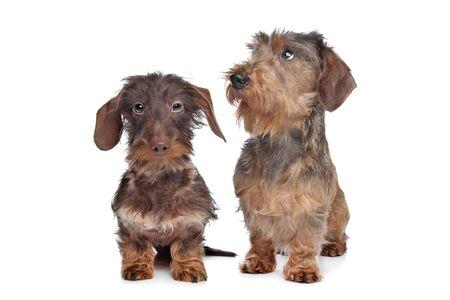Two miniature Wire-haired dachshund dogs in front of a white background Stock Photo - 13132909