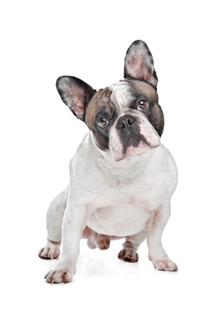 french bulldog: French Bulldog in front of a white background