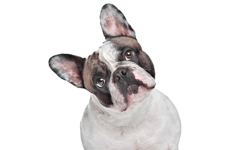 French Bulldog in front of a white background photo