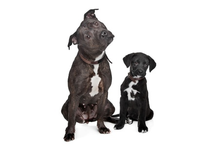 two dogs left mix pitbull,right mixed Great Dane, Rottweiler Stock Photo - 13132552