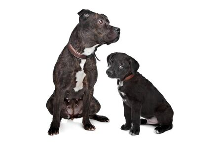 two dogs left mix pitbull,right mixed Great Dane, Rottweiler Stock Photo - 13132668