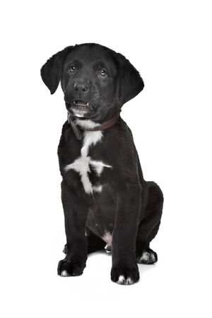 Mixed breed puppy  Great Dane, Rottweiler, in front of a white background  photo