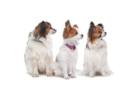 dog toy: three Papillon dogs in front of a white background Stock Photo