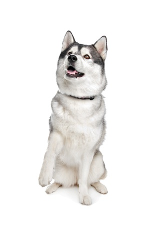 sled dog: Siberian Husky in front of a white background