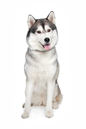 husky: Siberian Husky in front of a white background