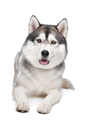 Siberian Husky in front of a white background Imagens - 13132901
