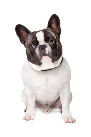 francais: Cute French Bulldog sitting on a white background Stock Photo