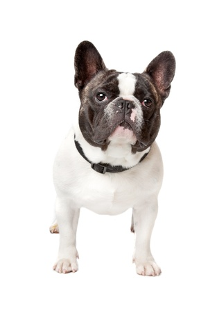 bull dog: Cute French Bulldog standing on a white background
