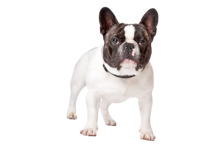 francais: Cute French Bulldog standing on a white background