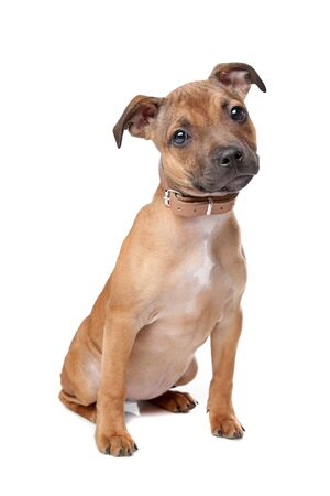 Staffordshire Bull Terrier puppy in front of a white background Stock Photo - 13228388