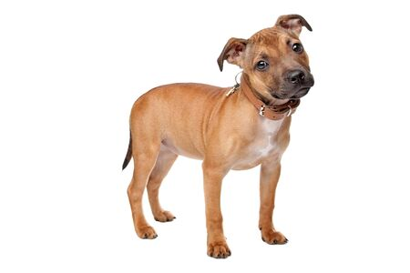 bull terrier: Staffordshire Bull Terrier puppy in front of a white background Stock Photo