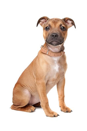 Staffordshire Bull Terrier puppy in front of a white background Stock Photo