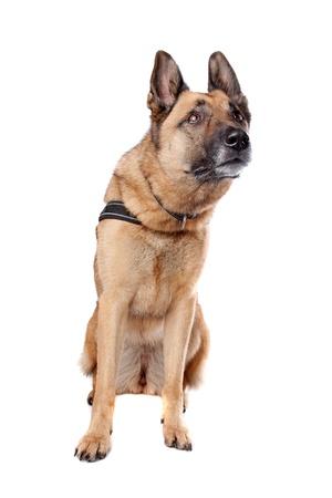 perro policia: Pastor alemán sentada del perro, aisladas sobre un fondo blanco Foto de archivo