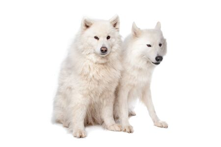 two Samoyed dogs in front of a white background photo