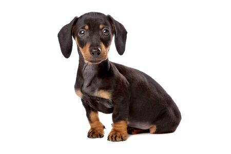 weenie: Dachshund, Teckel puppy in front of a white background