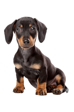 Dachshund, Teckel puppy in front of a white background