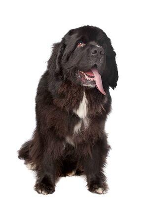 cane terranova: Cane Terranova di fronte a uno sfondo bianco