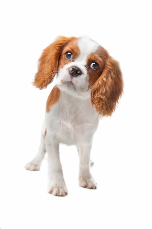 Cavalier King Charles Spaniel puppy on a white background