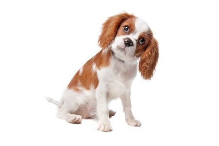cavalier: Cavalier King Charles Spaniel puppy on a white background