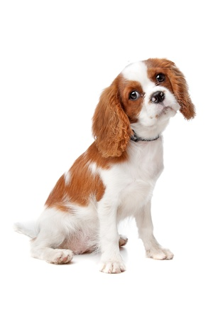 cavalier king charles spaniel: Cavalier King Charles Spaniel puppy on a white background