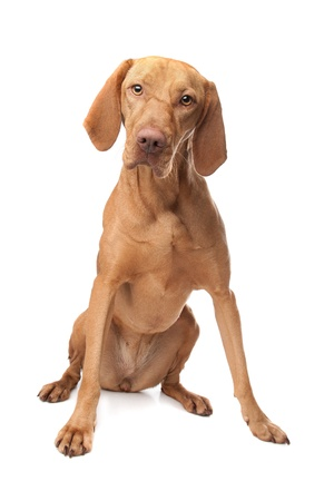 Hungarian Vizsla in front of a white background Foto de archivo