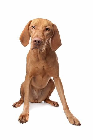 pointer dog: Hungarian Vizsla in front of a white background Stock Photo