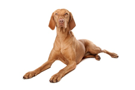 Hungarian Vizsla in front of a white background Stock Photo