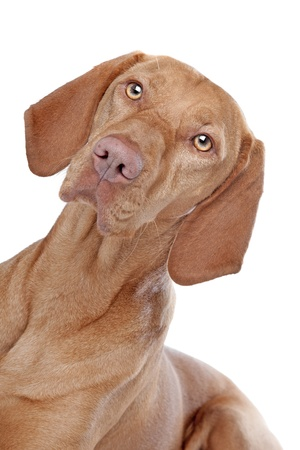 Hungarian Vizsla in front of a white background Stock Photo - 13228501