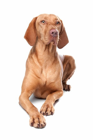 hungarian pointer: Hungarian Vizsla in front of a white background Stock Photo