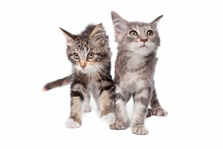 Maine Coon kittens in front of a white background photo