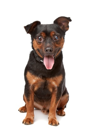 mutt: blind mixed breed dog in front of a white background Stock Photo
