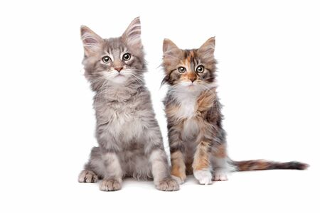 maine cat: Maine Coon kittens in front of a white background Stock Photo
