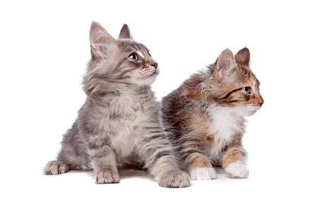 coon: Maine Coon kittens in front of a white background Stock Photo
